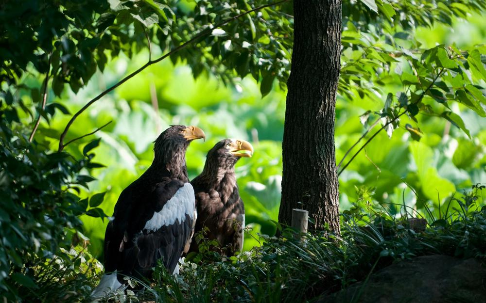 Two eagles under the tree