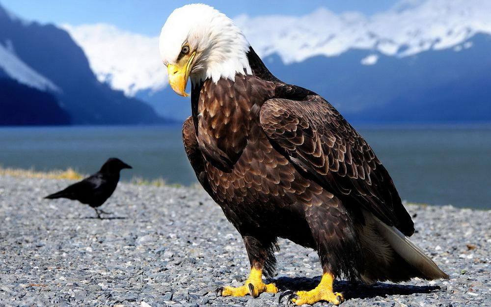 Eagle with voronev
