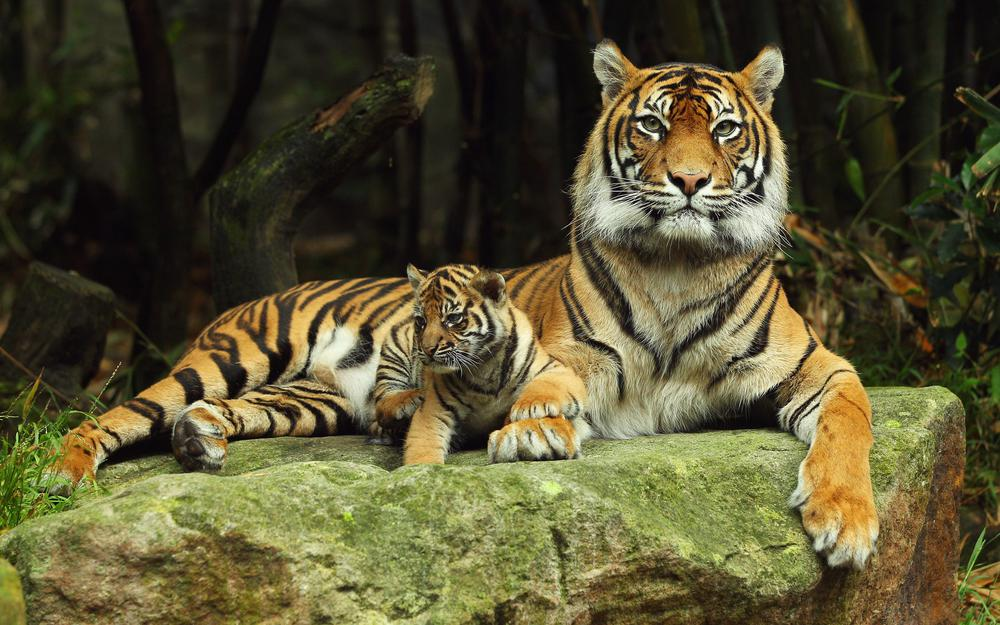 Tiger with tiger