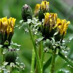 Dandelions, flowers, curled, drops, grass