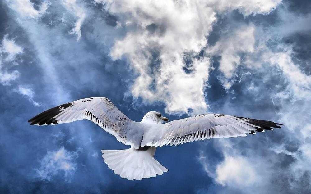Seagull over the clouds wallpaper