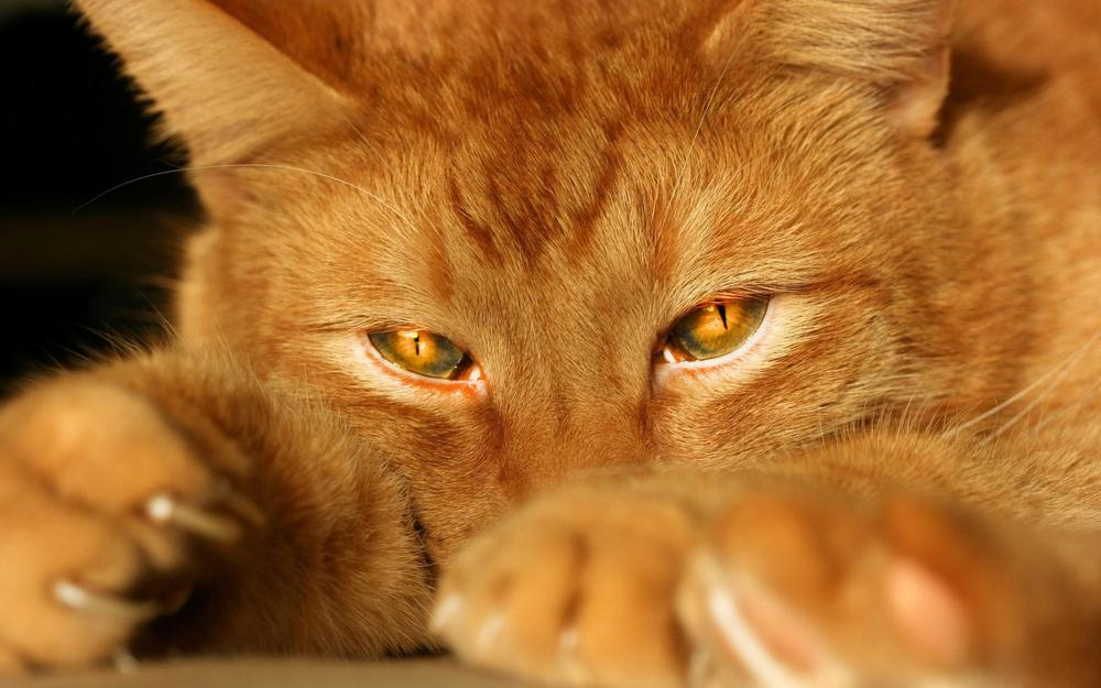 Red cat with red eyes desktop background