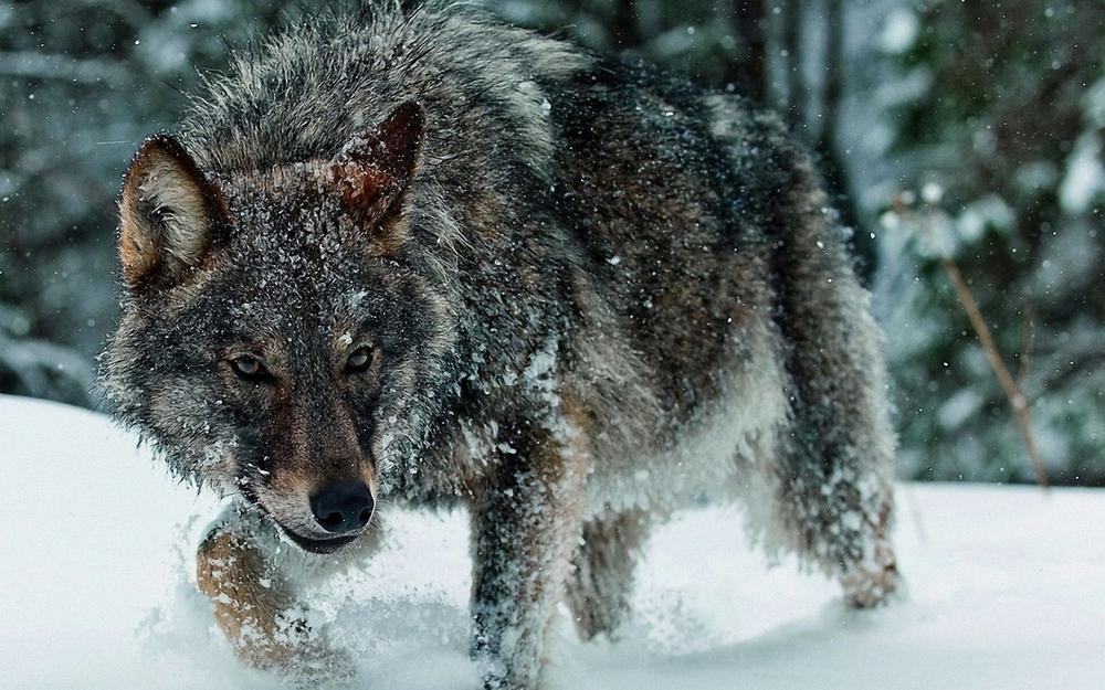 Wolf, in the forest. snow, sugro