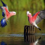 Two parrots above the water