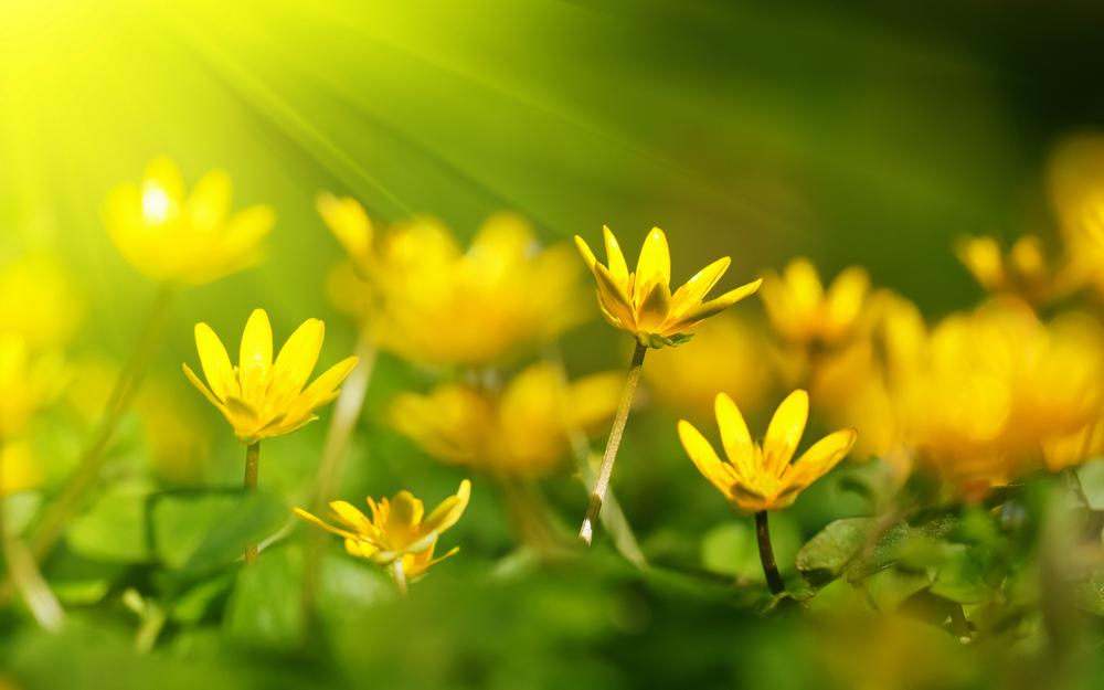 Yellow flowers spring rays