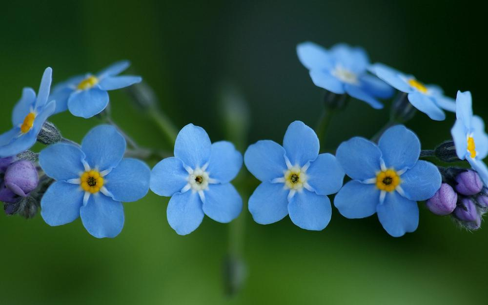 Flowers blue forgetcoming