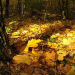 Sunny day, silence, trees, beautiful, in the forest, fallen leaves, on the grass
