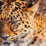 Spotted, animal, red, beautiful, leopard