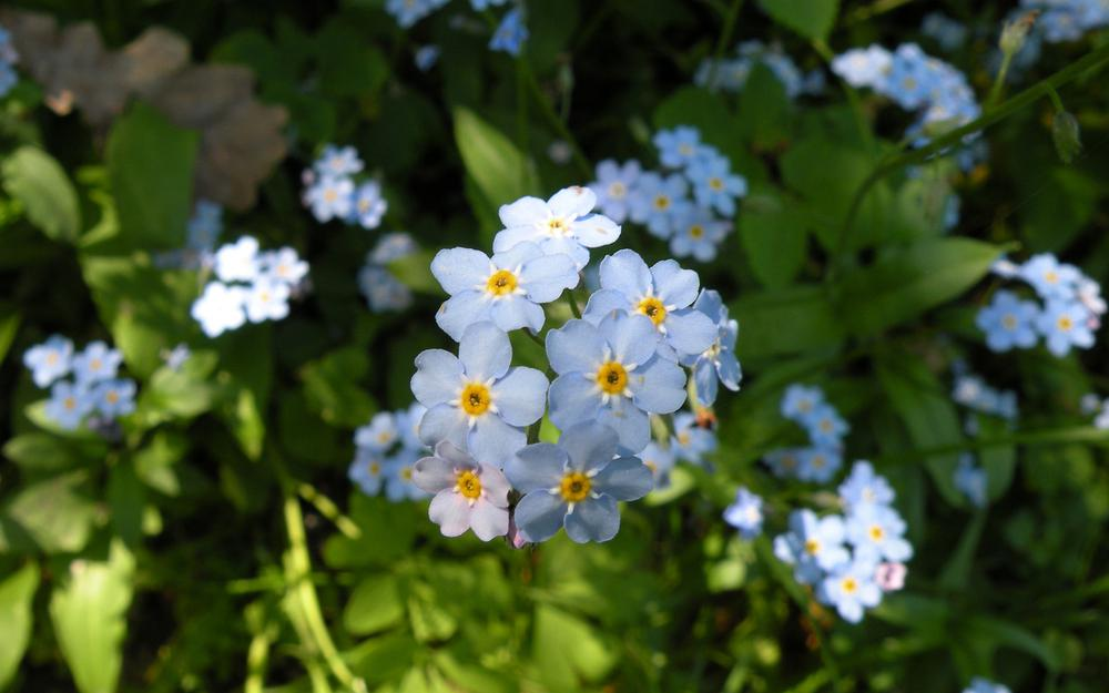 Flowers nature forget-me-not blue