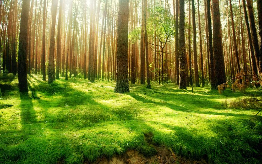 Forest, high, trees, vintage, nature, beautiful wood