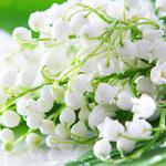 Lily of the valley flowers lrangess