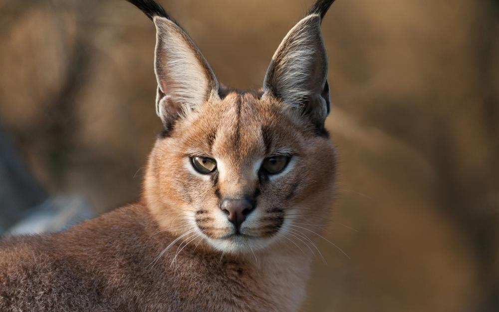 Caracal, view, tassels, muzzle, ears, soft