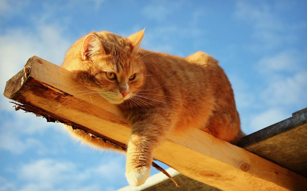 Red cat on boards