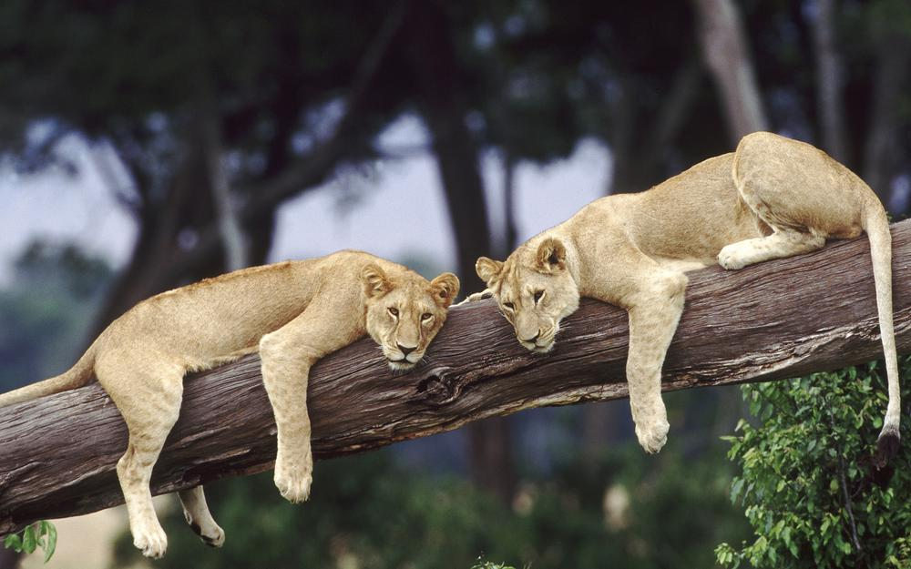 Lionesses are resting on a tree trunk