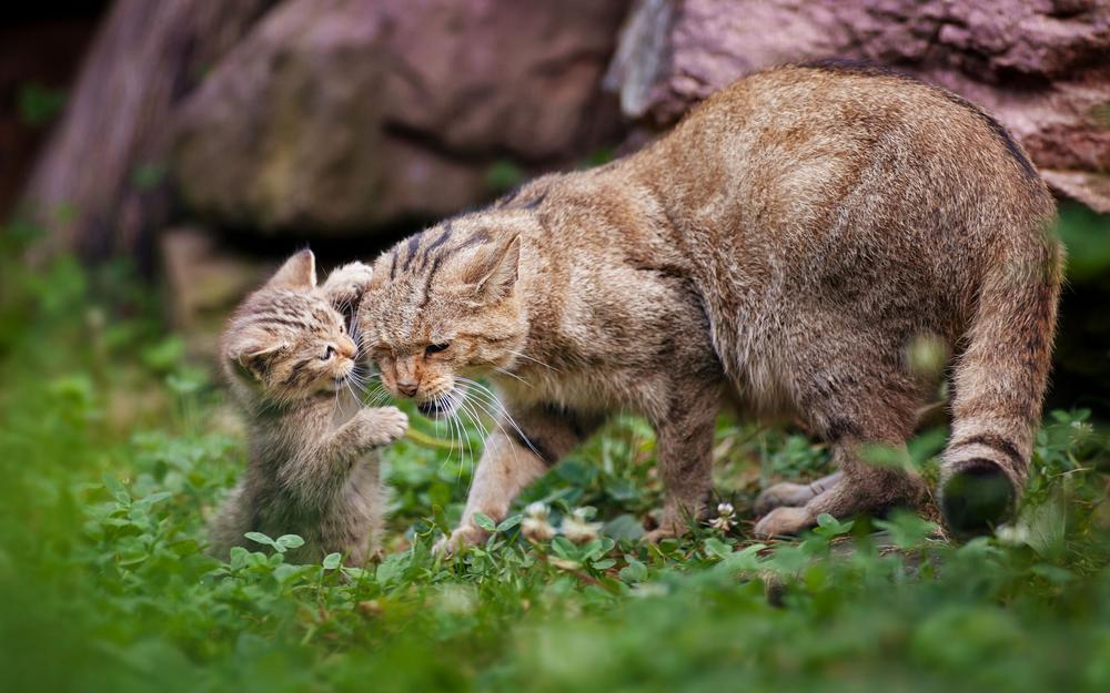 Kitten playing with a cat