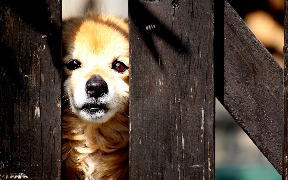 Dog for a fence wallpaper