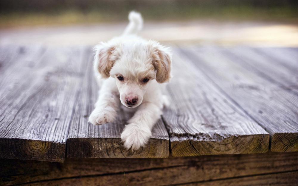 White puppy on boards