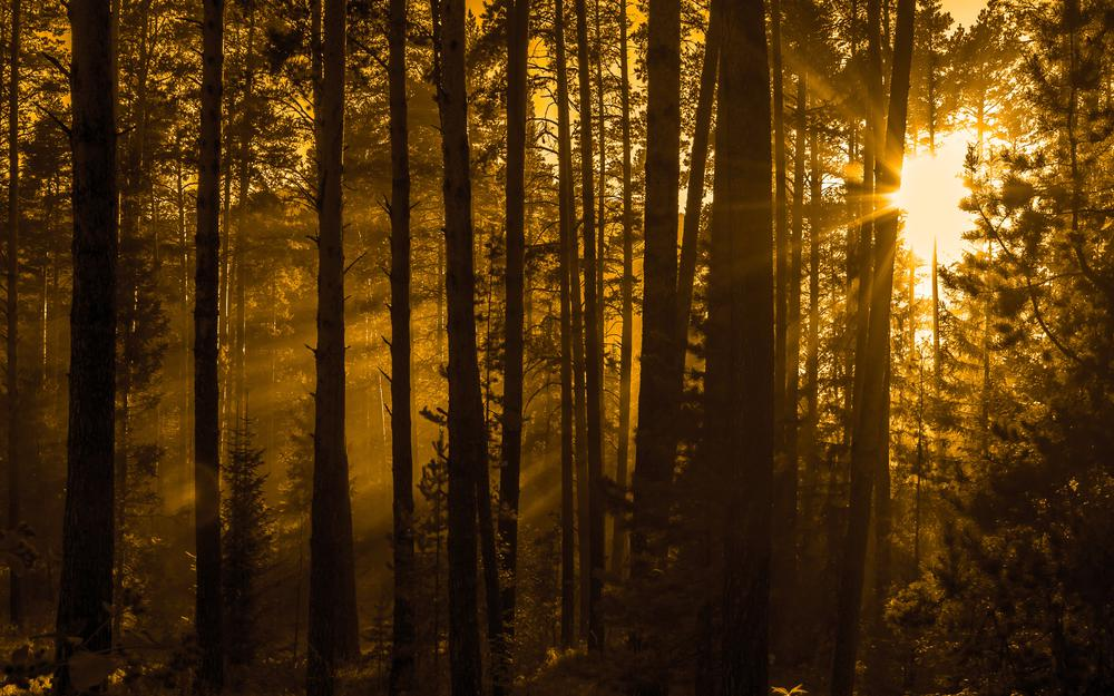 Nature, sun rays, pines, summer, forest, sepia