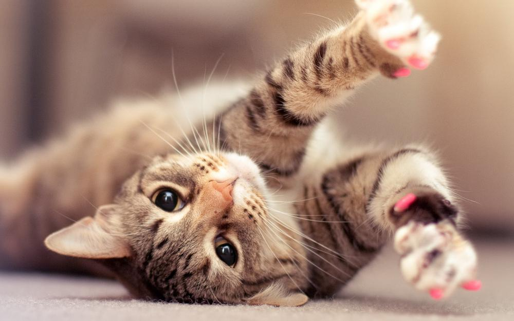 Cat with pink claws wallpaper