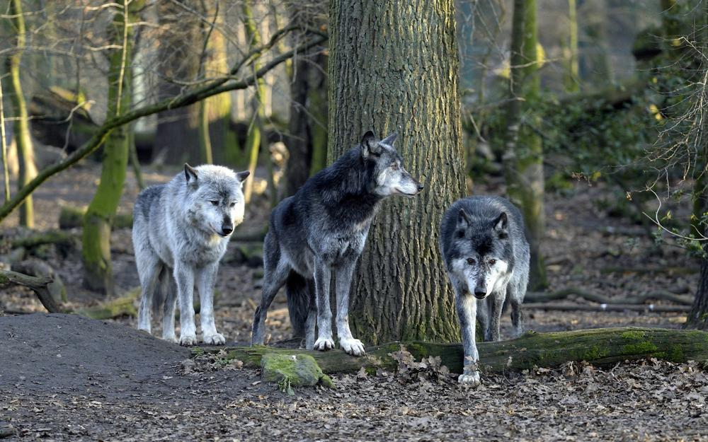 Wolves, forest, trees